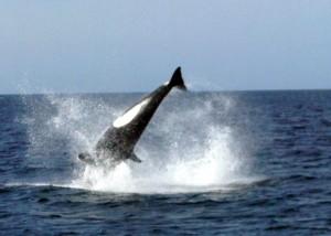Orcas san carlos sonora