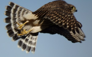 Birding Report Merlin