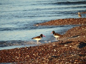bird report Oystercatcher