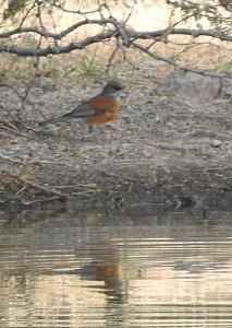 Rufous-backed Robin N0474