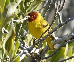 bird report Mangrove Warbler