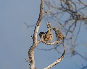 birdiing Cactus Wren