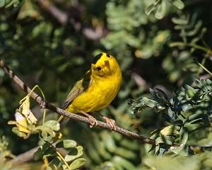 birding report Wilsons warbler by Fred Gaunt