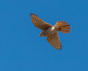 Birding report American Kestrel