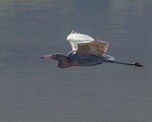 san carlos birding report Reddish Egret