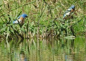 Birding report Lazuli Bunting
