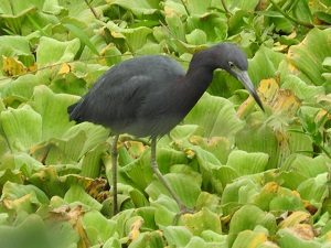 Little Blue Heron on Lily pads N1908 - Edited
