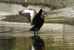 Black-bellied Whistling-Duck with Wings Up