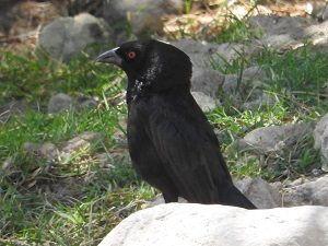 Bronzed Cowbird with Neck Ruff